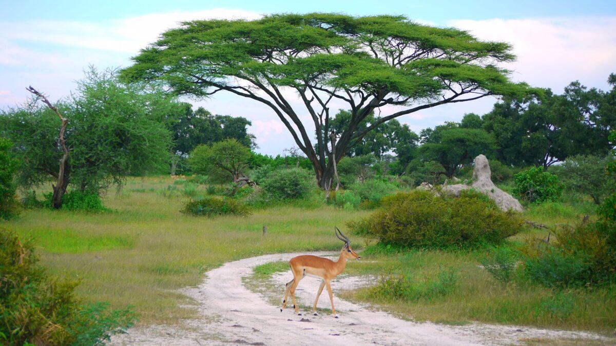Botswana tilbyder dyreliv og natur som få andre steder i verden