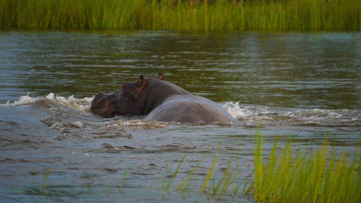 Se dyrene i deres naturlige omgivelser i Botswana