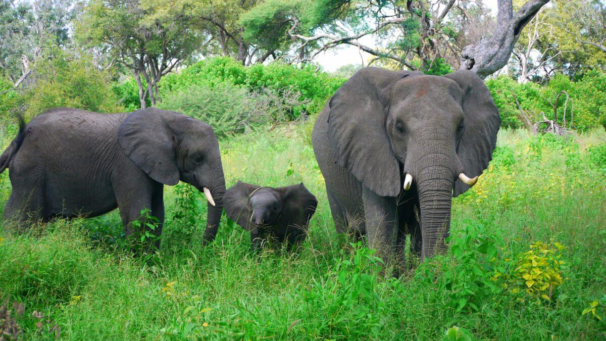 Elefant i Botswana