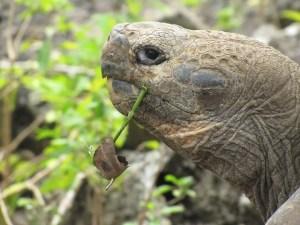 galapagos-turtle-1664586_960_720