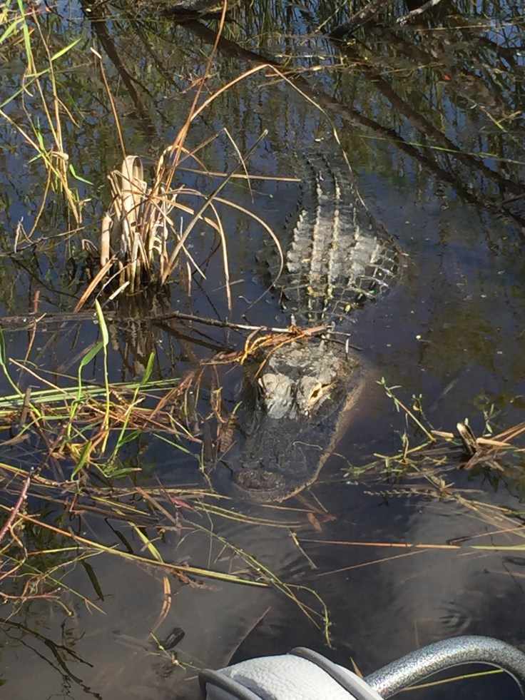 Alligators are used to the air boats