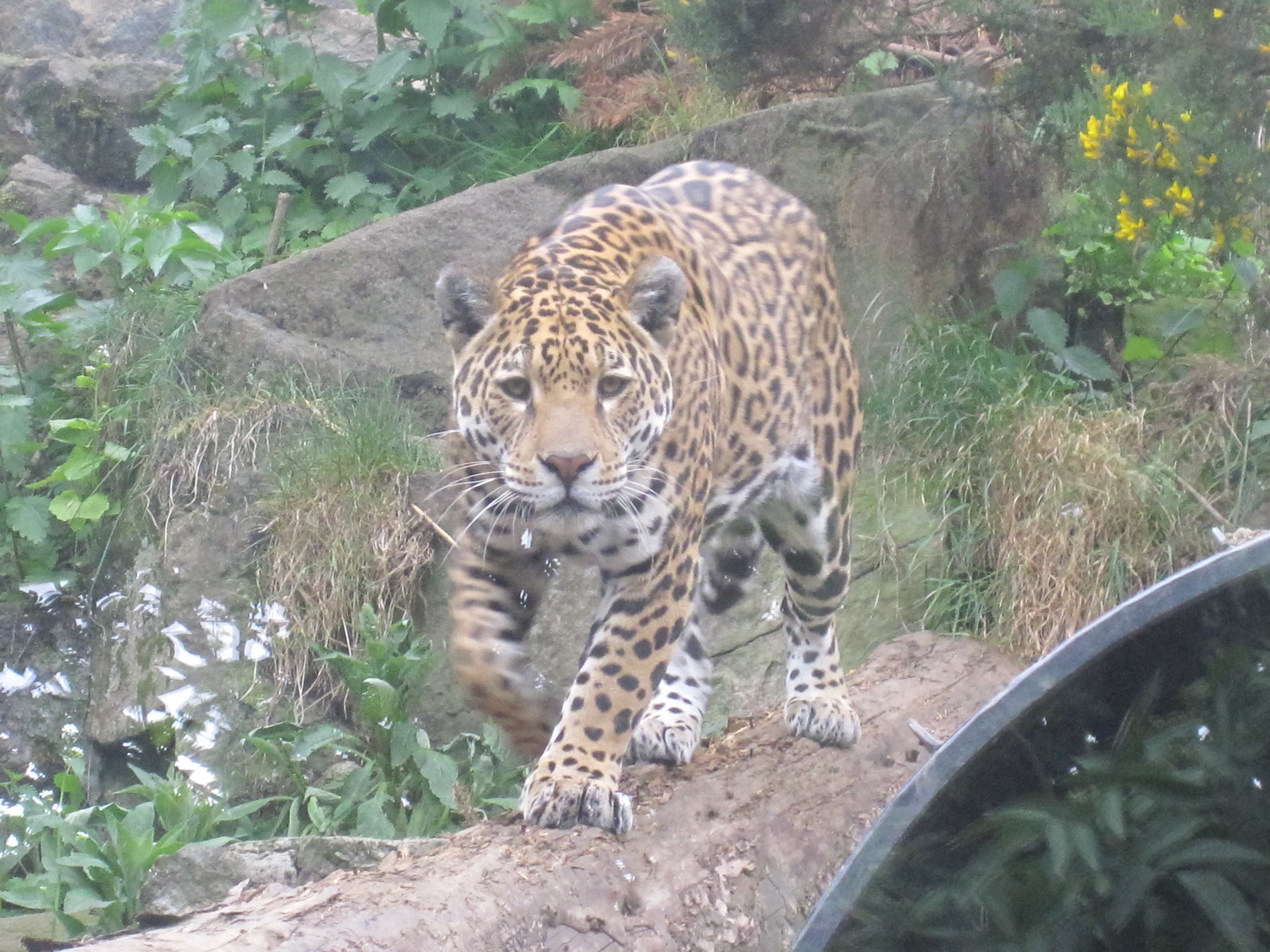 Related Keywords Amp Suggestions For Jaguar Edinburgh Zoo