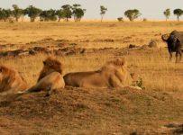 safari