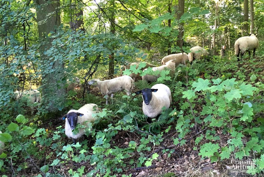 Stockholm - Sheep in Djurgården -Cruising Attitude Sailing Blog | Discovery 55