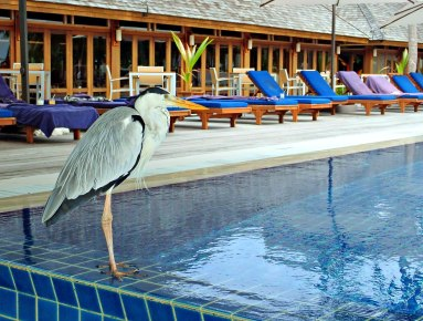Happy Easter 2018 ! No Easter bunny in Maldives but Grey heron laying and hiding eggs