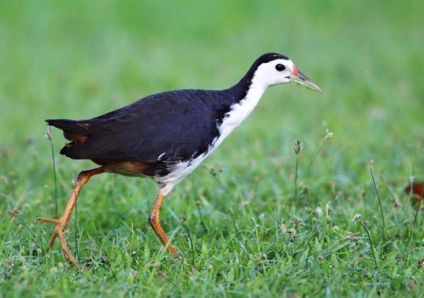 Maldives White breated Waterhen