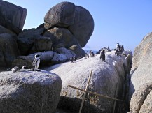 See the penguins on Boulders Beach