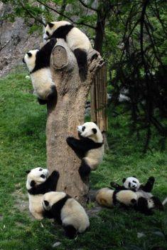 Panda cubs are climbing tree
