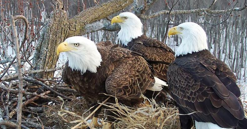 Two dads and a mom eagle in the nest