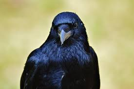 Crows are so intelligent; we can barely know them!