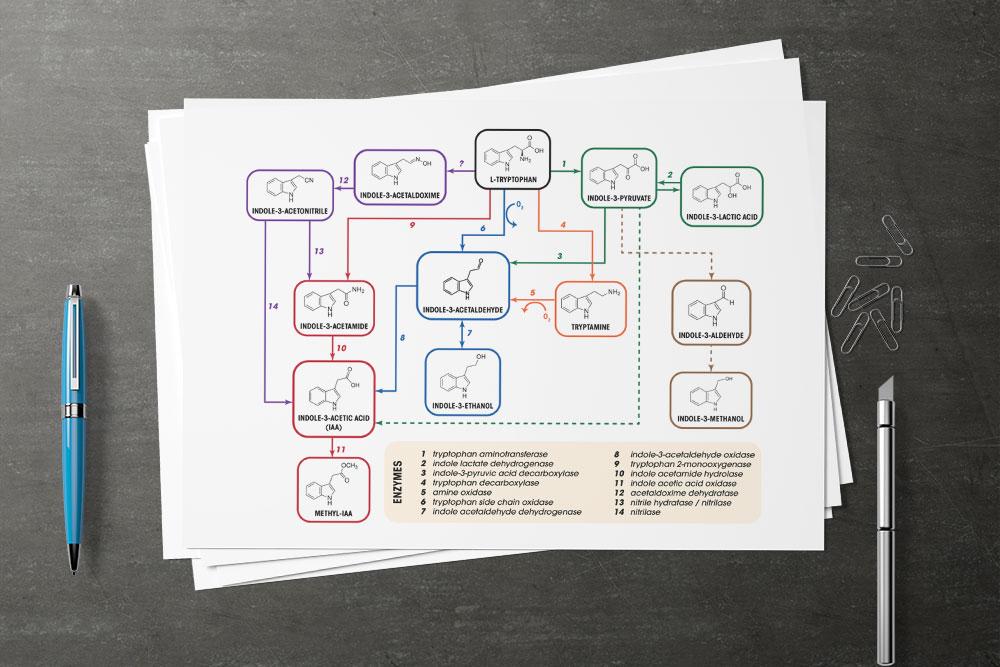 CryoDragon Scientific Illustrations (Waterloo Kitchener Cambridge) Tryptophan Biosynthesis