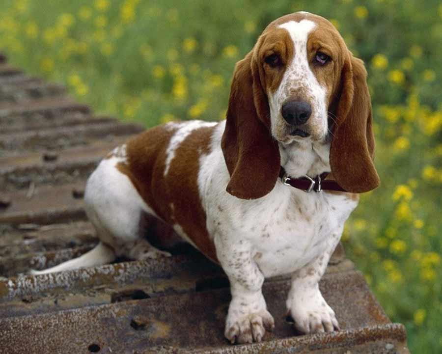 crypto basset hound