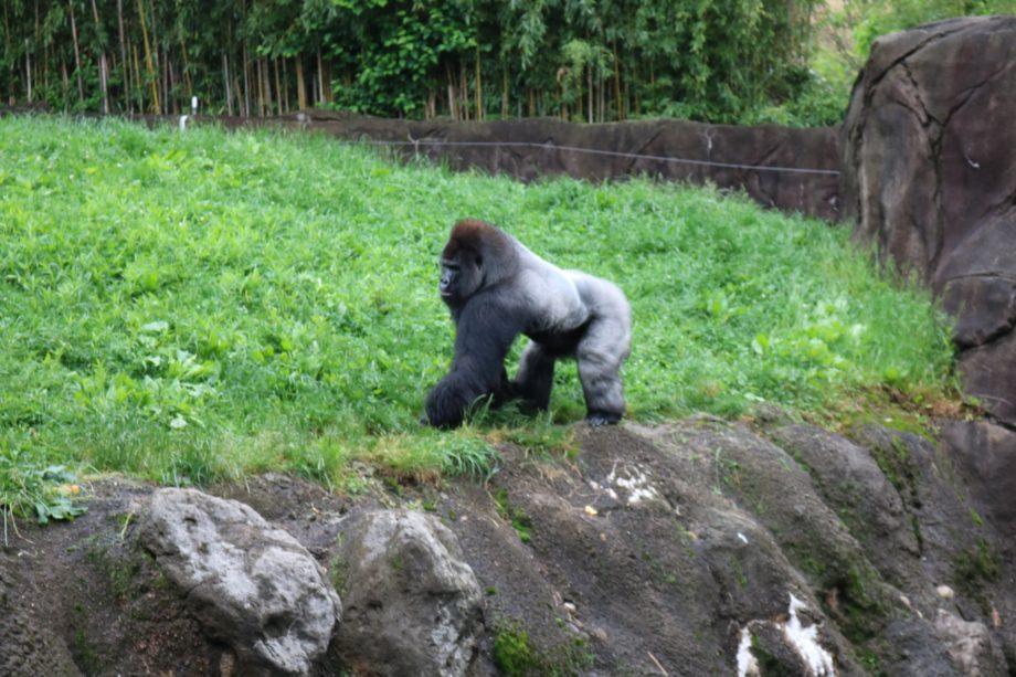 Gorillas at Pittsburgh Zoo