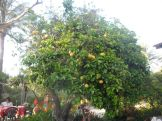 Magical grapefruit tree. (another trip to Orange House).