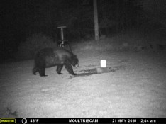 MR. BLACK BEAR WALKING TOWARD THE SALT LICK.