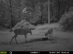 MOTHER DEER TEACHING HER BABY FAWN WHERE TO FIND FOOD.