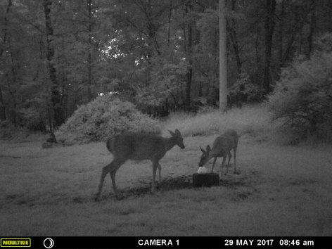 MOTHER DEER CHECKING ON HER BABY FAWN.