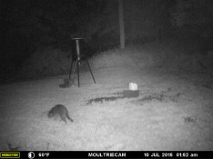 A RACCOON LOOKING FOR SOMETHING TO EAT.