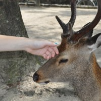 The deer are starving at Miyajima