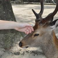 The deer are starving at Miyajima