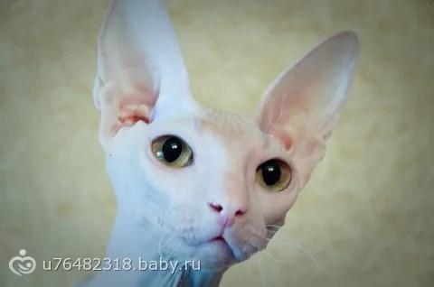 Такая кошка милая донской сфинкс донской сфинкс с