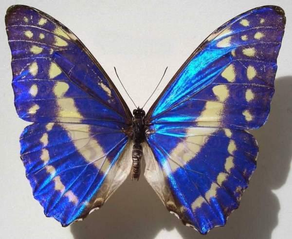 Бабочка Морфо Фото