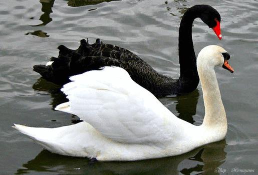 Белый И Черный Лебедь Фото