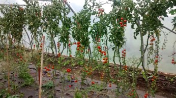 Tomatoes still going strong!