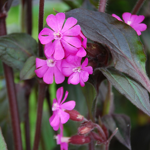 Silene (Bright Pink)