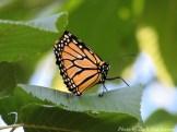 14-08-25 Butterfly by DuCharme