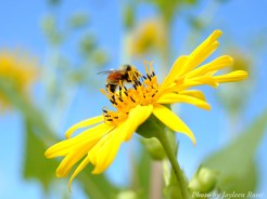 14-09-02 bee on flower by Rossi