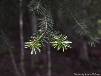 14-09-02 pine branch by Nelson