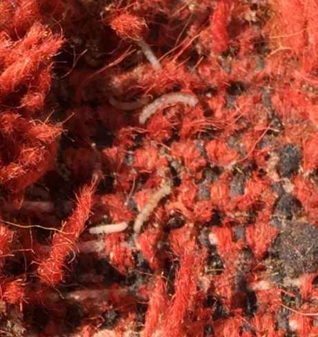 Moth larvae in wool rug