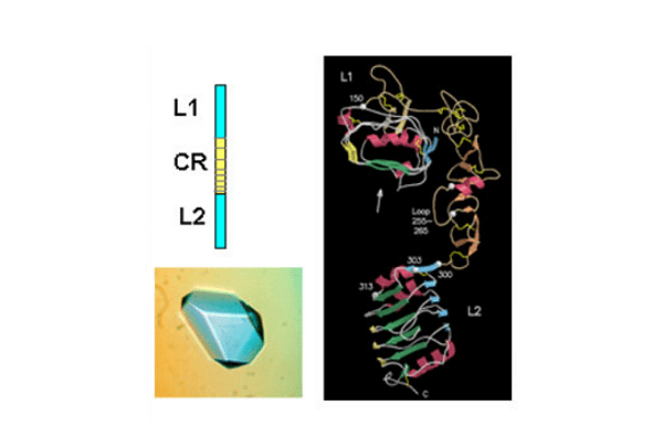 Crystal structure of the L1-CR-L2 fragment of the human IGF-1R