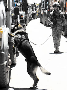 BAGRAM AIRFIELD, Afghanistan -- Staff Sgt. Scott Carpenter and his military working dog, Kane, search a line of vehicles Aug. 10, 2009. Air Force K-9 teams search more than 700 vehicles a day before the drivers are allowed to come on base. A Clarksburg, Mass., native, Sergeant Carpenter is a dog handler with the 455th Expeditionary Security Forces Squadron and is deployed from Peterson Air Force Base, Colo. (Air Force photo/Staff Sgt. J.G. Buzanowski)