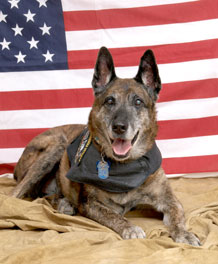 Photo by Lani Singh.   Billy poses with his dog tags and leather vest. A Dutch shepherd, Billy worked for the U.S. Air Force for 10 years before medically retiring.