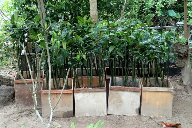 Mangrove sapling in recycled plywood boxes