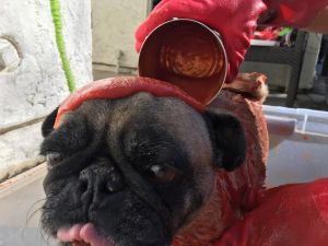 Cleaning a dog with a tomato bath