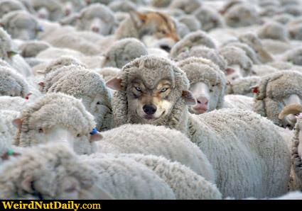 Image result for herd of sheep and a wolf
