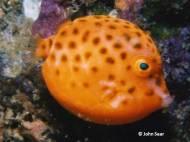Eastern Smooth Boxfish (Anoplocapros inermis) - juvenile