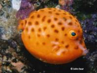 Eastern Smooth Boxfish (Anoplocapros inermis) - juvenile