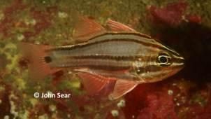 Sydney Cardinalfish (Apogon limenus)