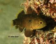 Black-finned Cardinalfish (Apogonichthyoides nigripinnis)