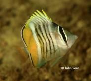 Merten's Butterflyfish (Chaetodon mertensii)
