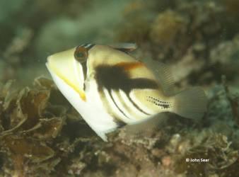 Hawaiian triggerfish (Rhinecanthus aculeatus)