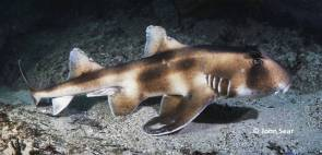 Crested Horn Shark (Heterodontus galeatus)