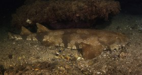 Spotted Wobbegong shark