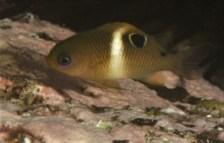 White-ringed Damselfish