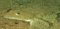 Blue-spotted Flathead
