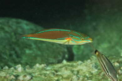 Red-spot wrasse
